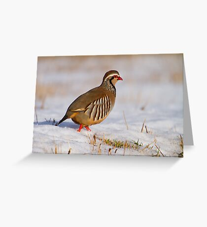 Red-legged partridge (Alectoris rufa), Scotland Greeting Card