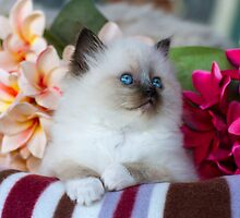 Ragdoll Kitten 03 by geomar