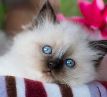 Ragdoll Kitten 07 by geomar