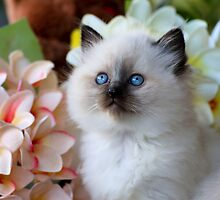 Ragdoll Kitten 10 by geomar