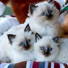 Ragdoll Kittens 13 by geomar