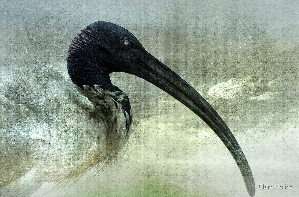 A beautiful Ibis by Clare Colins