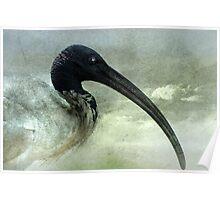A beautiful Ibis Poster