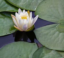 Lilly pad by Laura Cardello