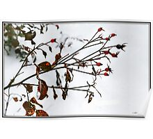 Rosehips in Snow Poster