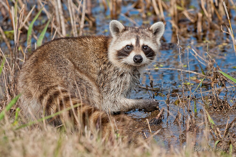 Young Raccoon looking for crawfish by Bonnie T.  Barry