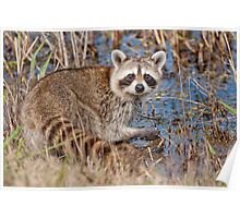 Young Raccoon looking for crawfish Poster