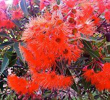 Flowering gum by StuartR