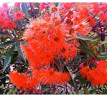 Flowering gum Photographic Print