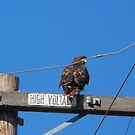 Red Tail Hawk by ShawnTsunami