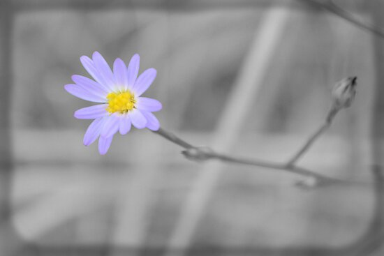 Late Purple Aster in Selective Color by Dawne Dunton