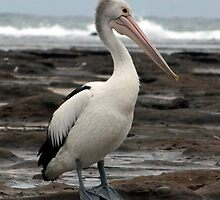 pelican stroll by Glen Johnson