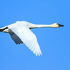 Tundra Swan: Cygnus columbianus by John Williams
