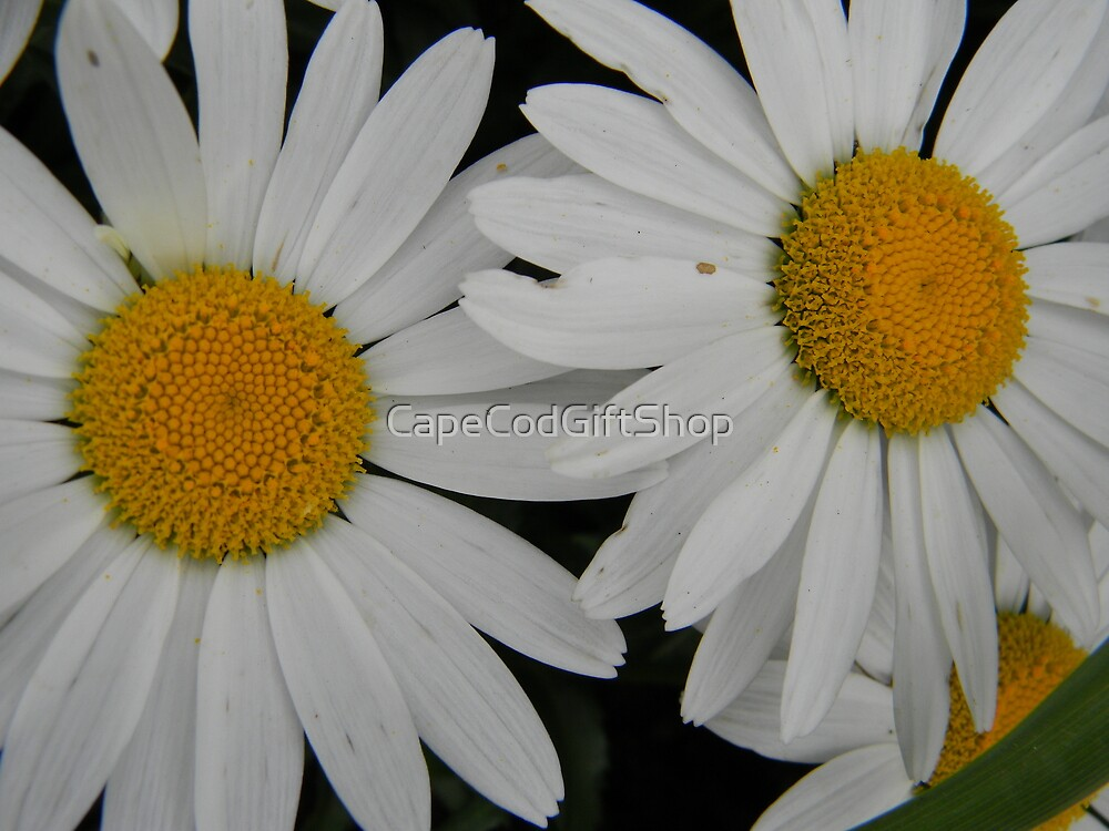 White Daisy in Full Bloom by CapeCodGiftShop