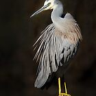 australia birds -- white-face heron by houenying