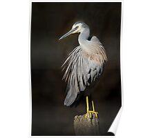 australia birds -- white-face heron Poster