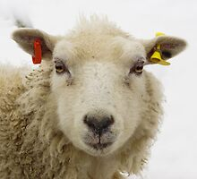 Lamb In The Snow by Roger Hall