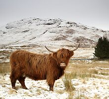 Red Highland Cattle in Snow by Maria Gaellman