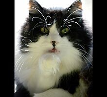 Felis Catus - Male Tuxedo Maine Coon Cat Licking His Paw by © Sophie W. Smith