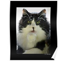 Felis Catus - Male Tuxedo Maine Coon Cat Licking His Paw Poster
