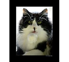 Felis Catus - Male Tuxedo Maine Coon Cat Licking His Paw Photographic Print