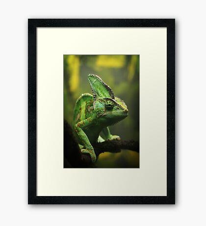 Veiled chameleon Framed Print