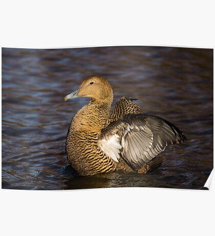 Female Eider Duck Poster