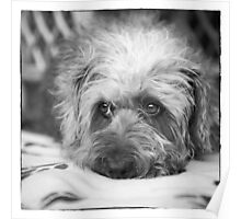Cute Scruffy Pup in Black and White Poster