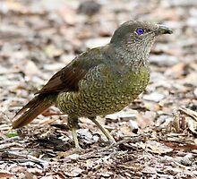 Baby Bower Bird by Kym Bradley