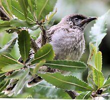 Baby Wattle Bird by Kym Bradley