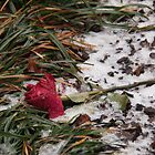 Rose in the snow by Kirk D. Belmont Photography