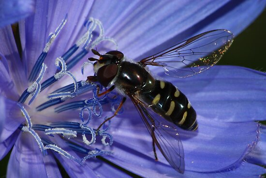 Flower Fly in Chicory by Kane Slater