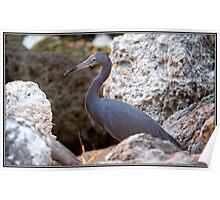 Little Blue Heron on the Rocks Poster