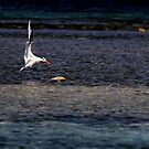Royal Tern landing on a reef by AndreCosto