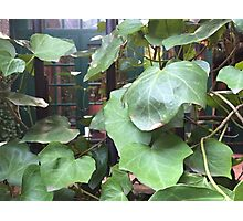 NYC, Vines in the Village Photographic Print