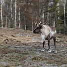 Caribou by Josef Pittner