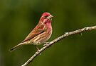 MALE PURPLE FINCH by Sandy Stewart