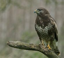 Common Buzzard - I (Buteo buteo) by Peter Wiggerman