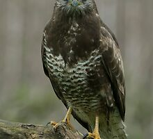 Common Buzzard - II (Buteo buteo) by Peter Wiggerman