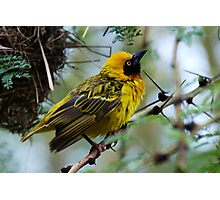 Masked Weaver Bird Photographic Print