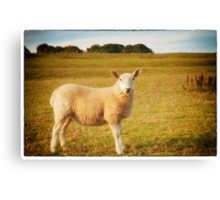 Smiling Sheep in Field Canvas Print