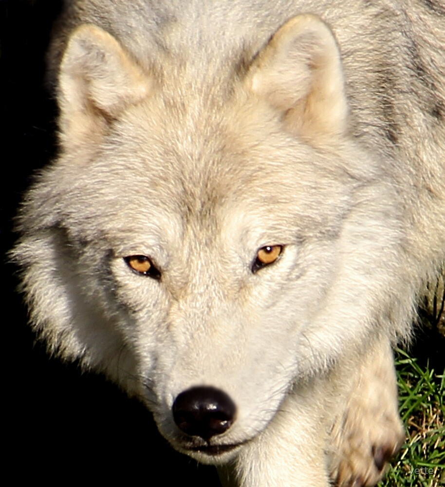 Face of a Wolf by vette