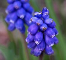 Grape hyacinth by Rachel Down