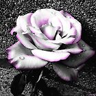 Blushing White Rose by Shawna Rowe