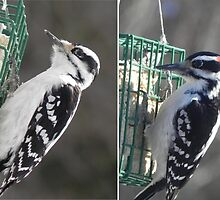 Female and Male Downy Woodpeckers by Martha Medford