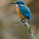 The Common Kingfisher (Alcedo atthis) by Steve  Liptrot