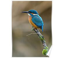 The Common Kingfisher (Alcedo atthis) Poster