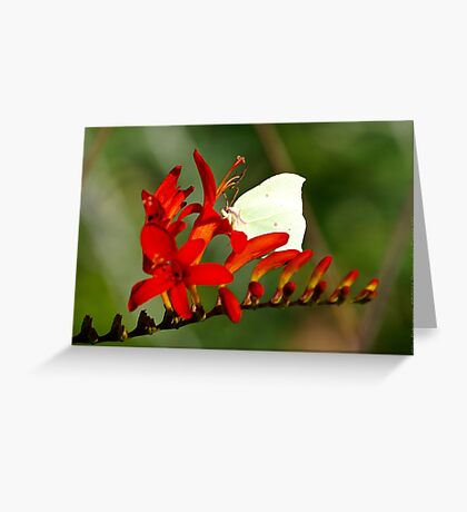 Brimstone on a Montbretia Panicle  VRS2 Greeting Card