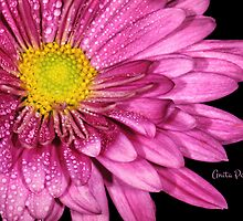 Droplets on a Pink Dahlia by Anita Pollak