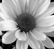 Daisy in B&W    ^ by ctheworld